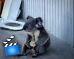 Sad Koala eats an apple, looks back on his life