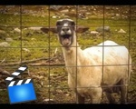 The Screaming Sheep