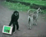 Gibbon Bully
