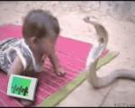 Baby vs Cobra