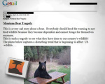 Montana Bear Tradgedy