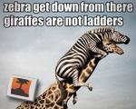 Zebra get down